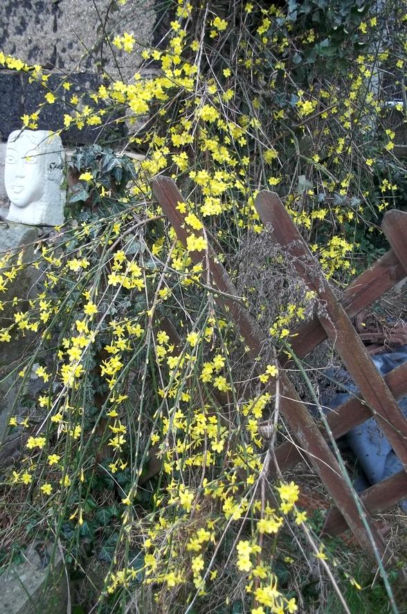 Le jasmin d 39 hiver en pleine folie - Jasmin blanc d hiver ...